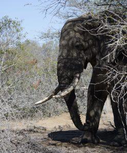 Elephant in Dry Kruger Park