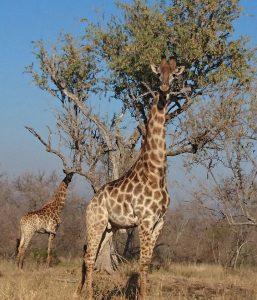 Giraffe can reach high