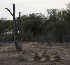 Lions in Dry Kruger Park