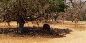 Nyala Eating in Drought