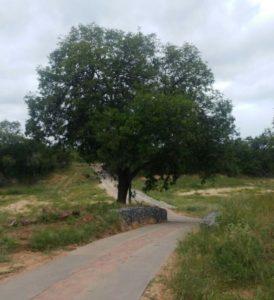 Weeping Boerbean good evergreen shade